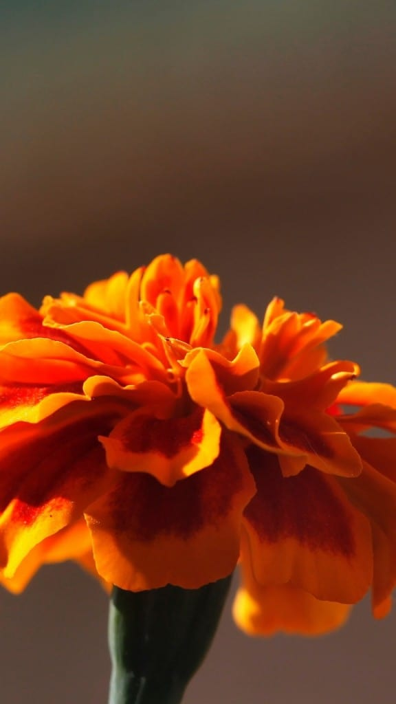 Orange-Flower-Petal-Macro-iPhone-6-plus-wallpaper-ilikewallpaper_com