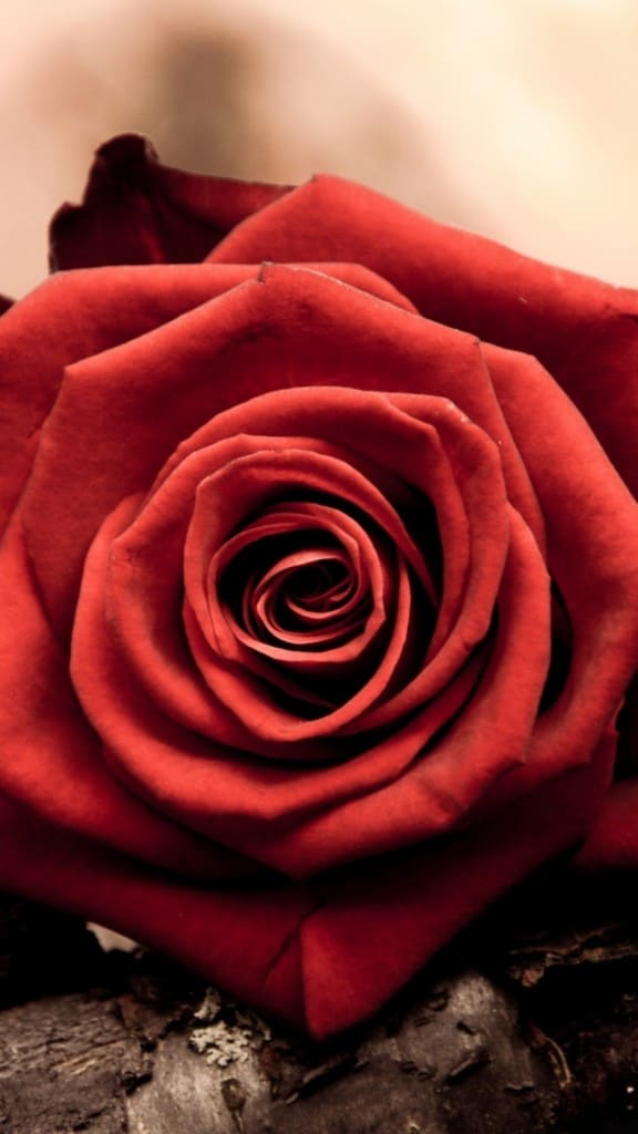 Rose-Bud-Red-Petals-Macro-iPhone-6-plus-wallpaper-ilikewallpaper_com