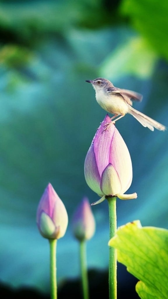 Bokeh-Pond-Lotus-Bud-Bird--iPhone-6-plus-wallpaper-ilikewallpaper_com