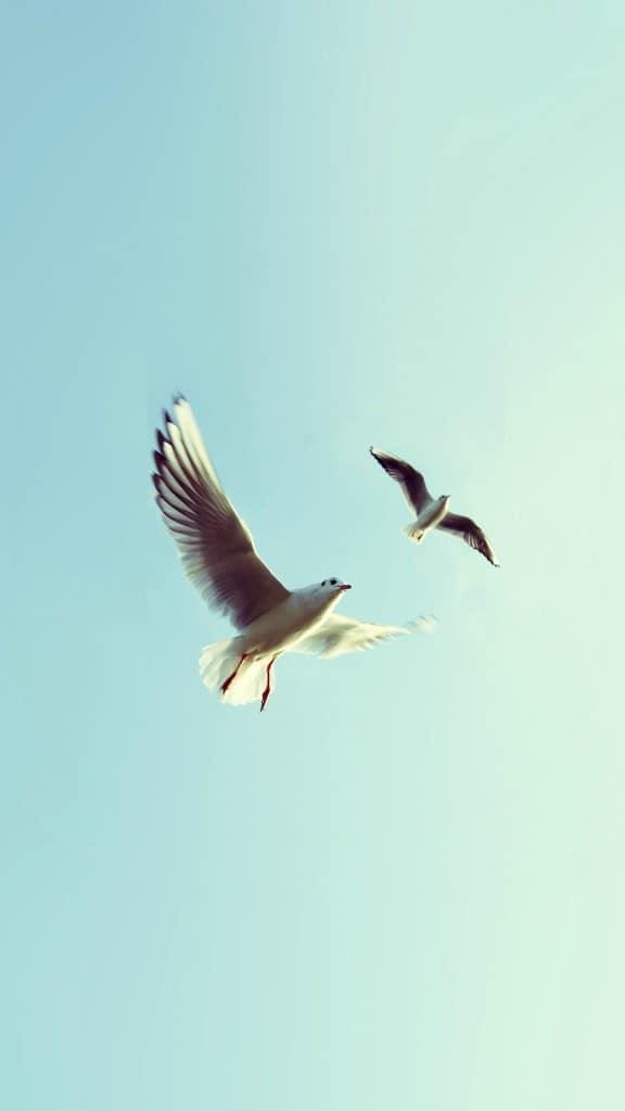 Pigeons-Bird-Fly-Sky-Animal-Nature-Minimal-iPhone-6-plus-wallpaper-ilikewallpaper_com