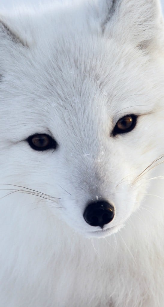 Artic-Fox-White-Animal-Cute-iphone-5s-parallax-wallpaper-ilikewallpaper_com