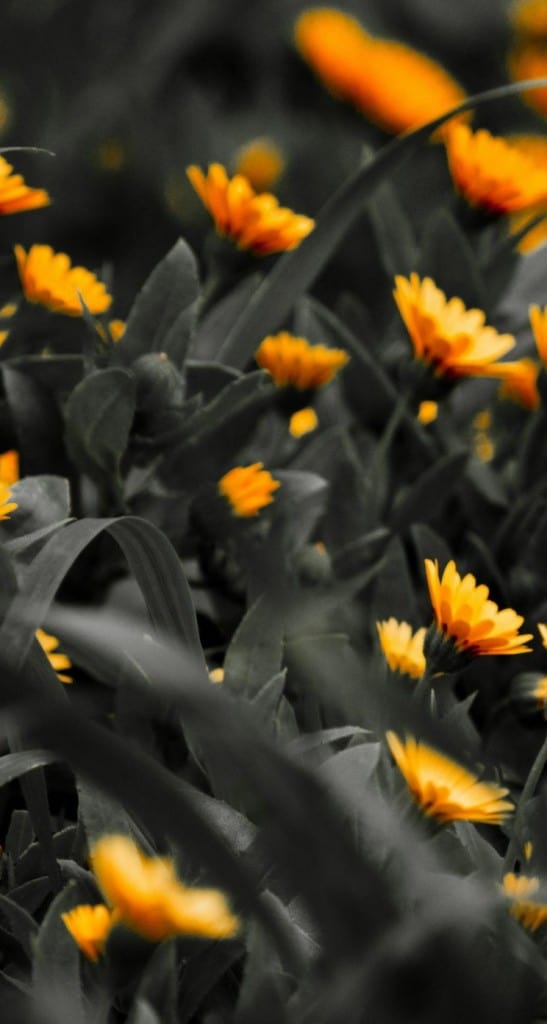 Orange-Flowers-Black-White-Photo-iphone-5s-parallax-wallpaper-ilikewallpaper_com