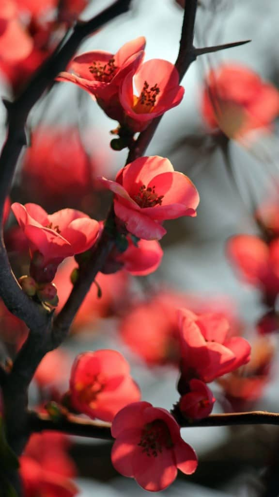 Red-Cherry-Tree-Flowers-iphone-6-wallpaper-ilikewallpaper_com