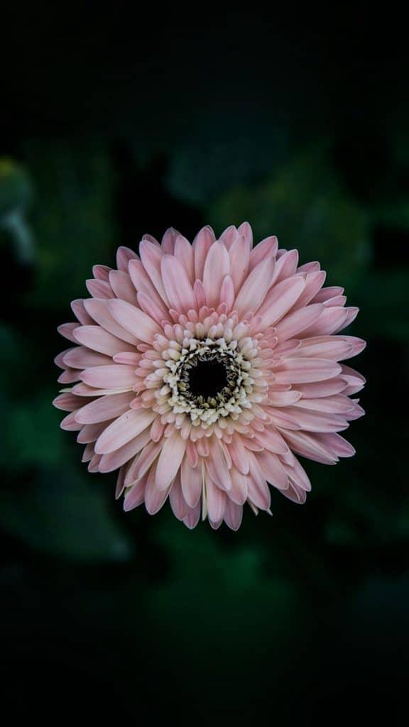 Flower-Center-Pink-Macro-iPhone-6-wallpaper-ilikewallpaper_com_750