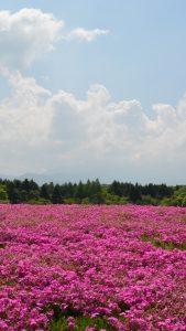 field-flowers-pink-summer-iphone-6-plus-wallpaper