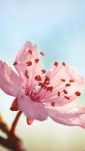 flower-bloom-branch-spring-iphone-6-plus-wallpaper