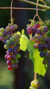 grapes-vines-berries-iphone-6-plus-wallpaper